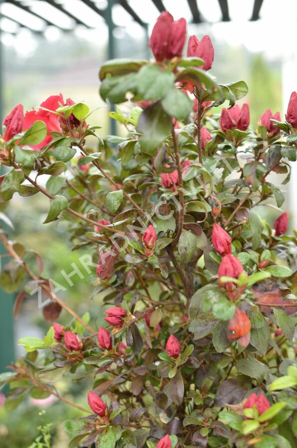 Azalka japonská 'Johanna' - Azalea japonica 'Johanna'