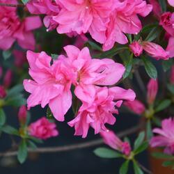 Azalka japonská 'Rosa' - Azalea japonica 'Rosa'