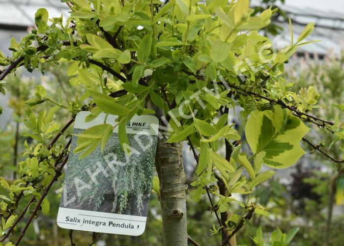Vrba prostřední 'Pendula' - Salix integra 'Pendula'