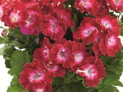 Muškát, pelargonie velkokvětá 'Melva Dark Red' - Pelargonium grandiflorum 'Melva Dark Red'