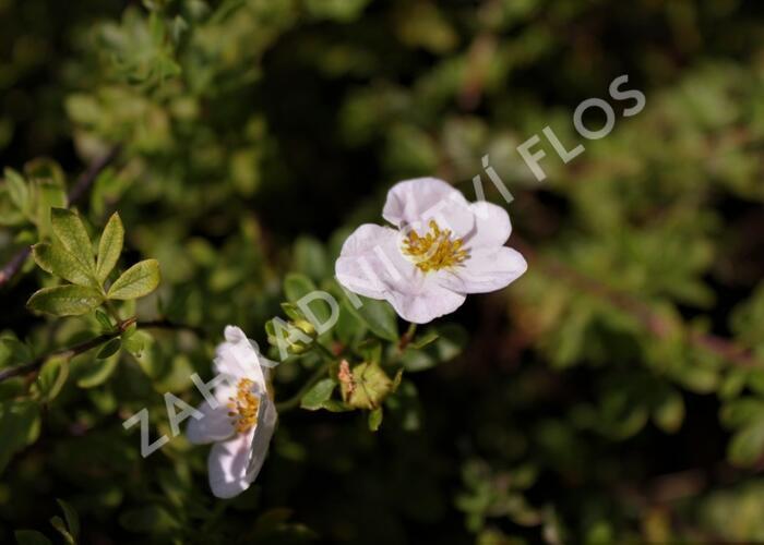 Mochna křovitá - Potentilla fruticosa 'Blink'