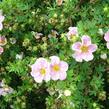 Mochna křovitá 'Blink' - Potentilla fruticosa 'Blink'