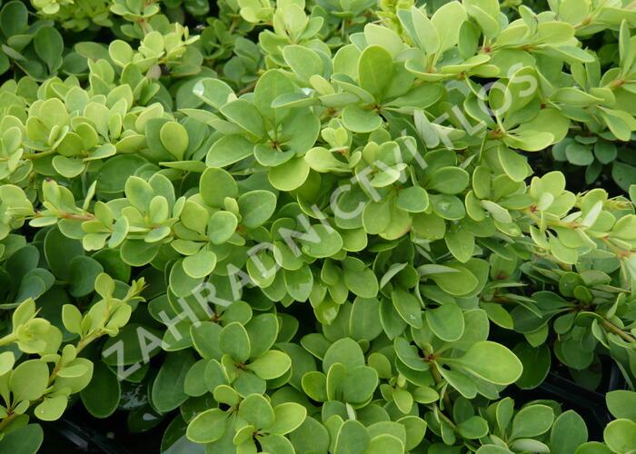 Dřišťál Thunbergův 'Green Carpet' - Berberis thunbergii 'Green Carpet'
