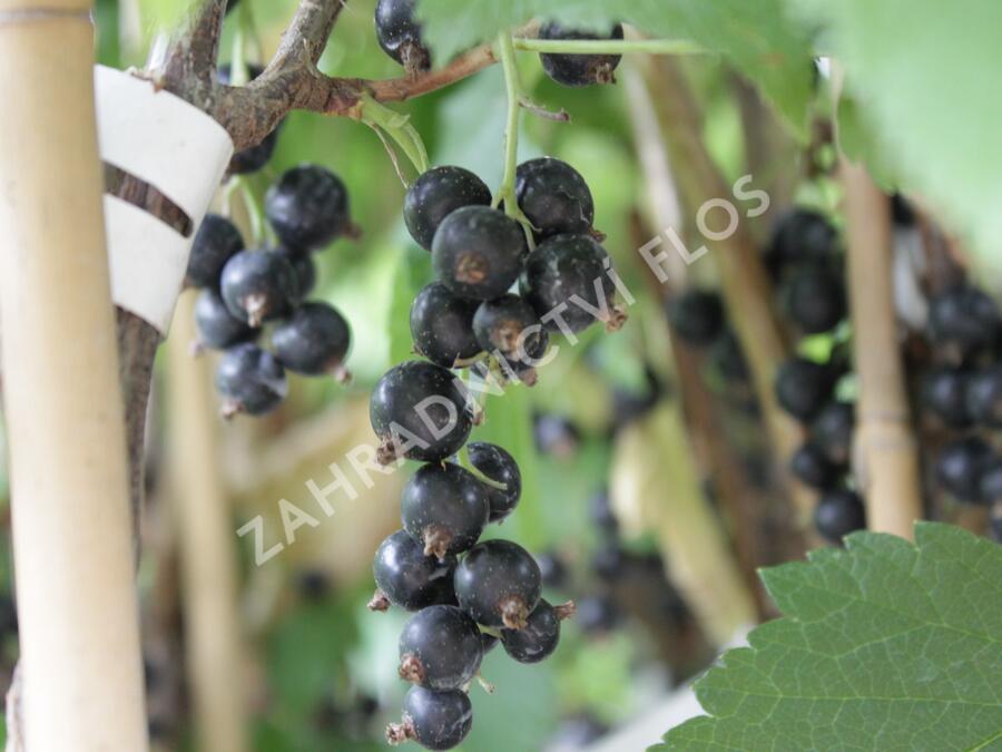 Rybíz černý 'Ometa' - Ribes nigrum 'Ometa'