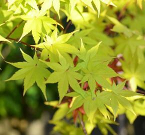 Javor shirasawanský 'Summergold' - Acer shirasawanum 'Summergold'