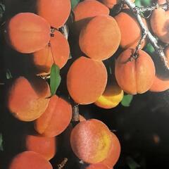Meruňka pozdní 'Darina' - Prunus armeniaca 'Darina'