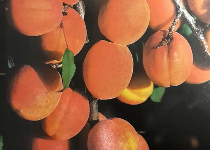 Meruňka - pozdní 'Darina' - Prunus armeniaca 'Darina'