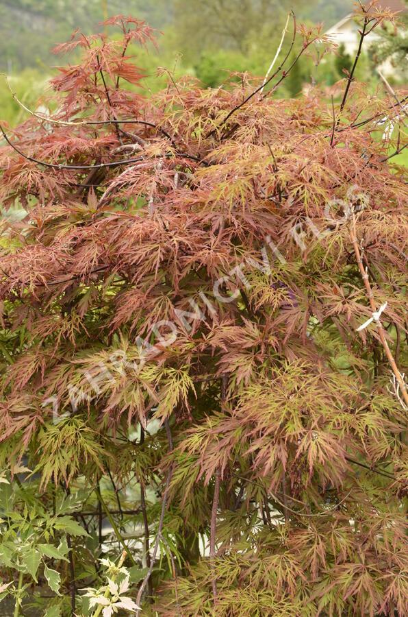 Javor dlanitolistý 'Dissectum Orangeola' - Acer palmatum 'Dissectum Orangeola'