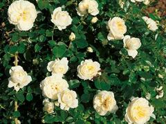 Růže mnohokvětá 'Lady Romantika' - Rosa MK 'Lady Romantika'