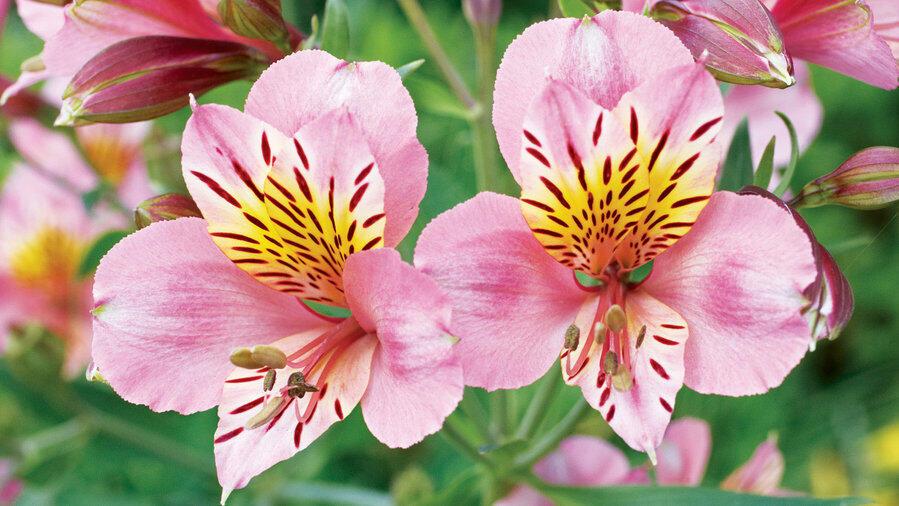 Alstromérie, boubelka 'Inticancha Sunday' - Alstroemeria hybrida 'Inticancha Sunday'