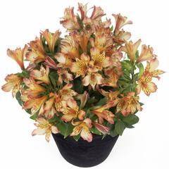 Alstromérie, boubelka 'Inticancha Bryce' - Alstroemeria hybrida 'Inticancha Bryce'