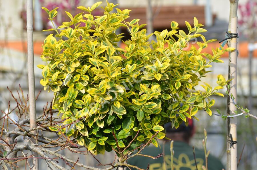 Brslen Fortuneův 'Emerald'n Gold' - Euonymus fortunei 'Emerald'n Gold'