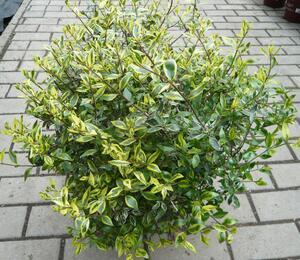 Abélie velkokvětá 'Bianco' - Abelia grandiflora 'Bianco'