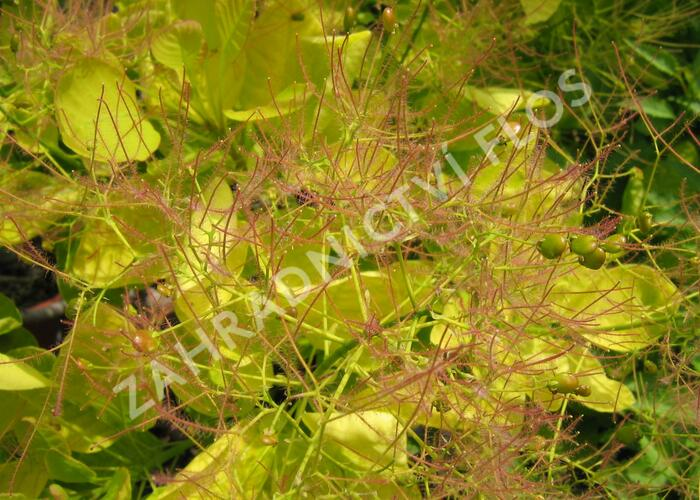 Ruj vlasatá 'Golden Spirit' - Cotinus coggygria 'Golden Spirit'