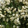 Růže pnoucí 'Seagull' - Rosa PN 'Seagull'