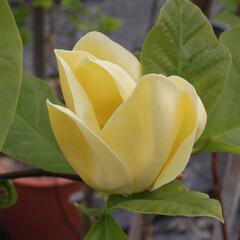 Šácholan 'Yellow Bird' - Magnolia brooklynensis 'Yellow Bird'
