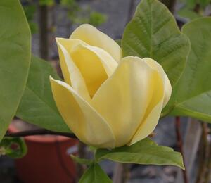 Šácholan 'Yellow Bird' - Magnolia brooklynensis 'Yellow Bird'