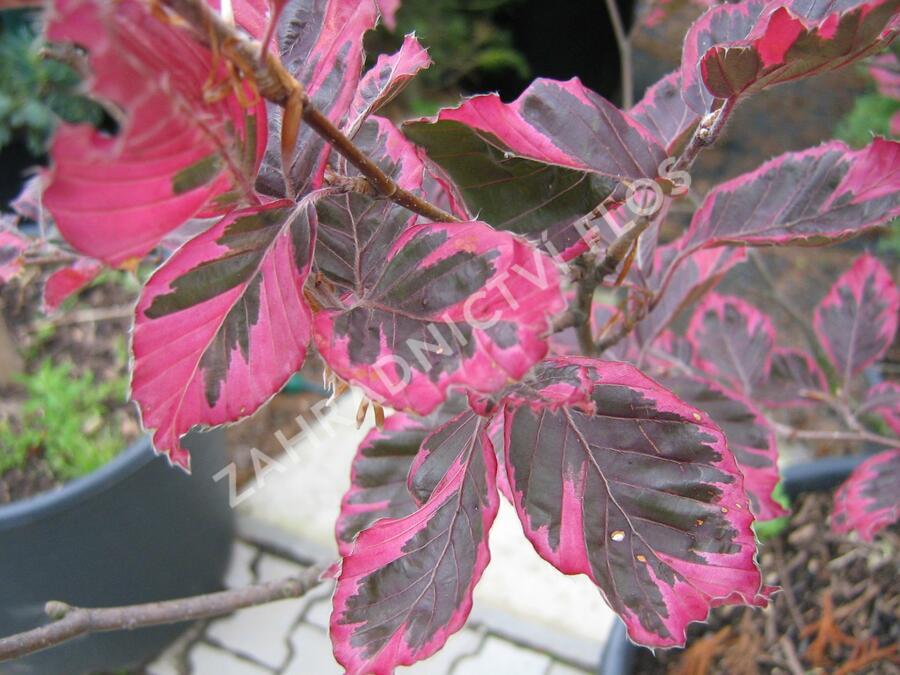 Buk lesní 'Tricolor' - Fagus sylvatica 'Tricolor'
