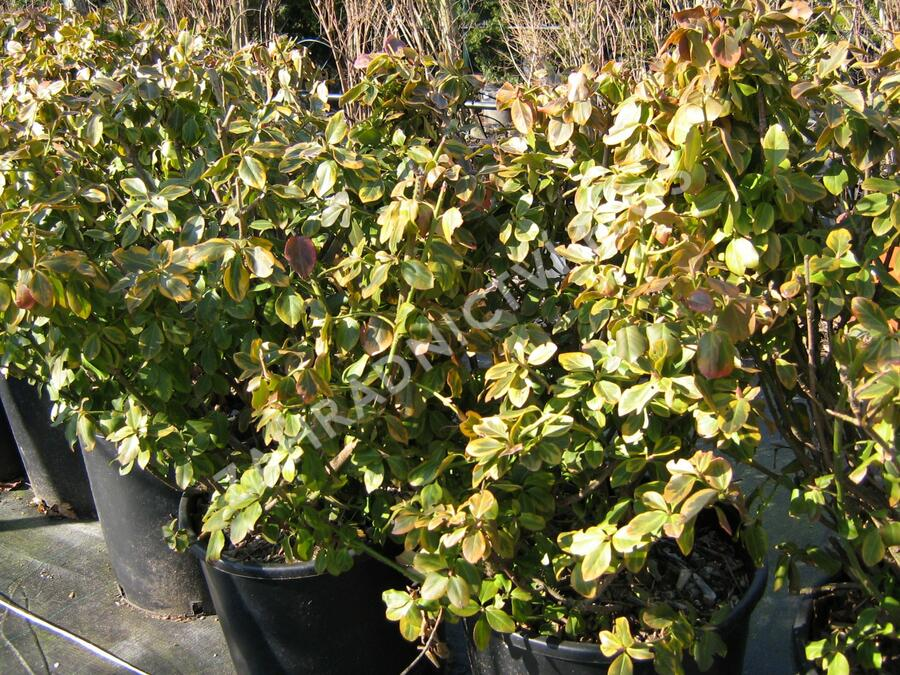Brslen Fortuneův 'Canadale Gold' - Euonymus fortunei 'Canadale Gold'