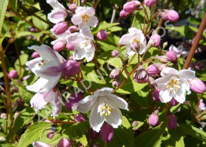 Trojpuk růžový 'Carminea' - Deutzia rosea 'Carminea'