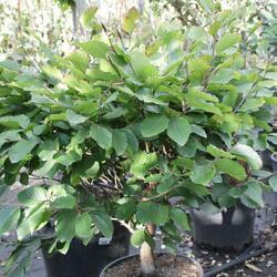 Buk lesní 'Eugen' - Fagus sylvatica 'Eugen'