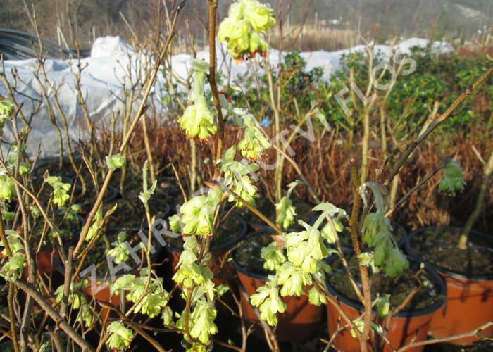 Lískovníček 'Spring Purple' - Corylopsis willmottiae 'Spring Purple'