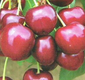 Třešeň pozdní - chrupka 'Regina' - Prunus avium 'Regina'