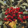 Třešeň raná - srdcovka 'Kaštánka' - Prunus avium 'Kaštánka'