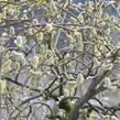 Vrba jíva 'Curly Locks' - Salix caprea 'Curly Locks'