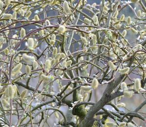 Vrba jíva 'Curly Locks' - Salix caprea 'Curly Locks'