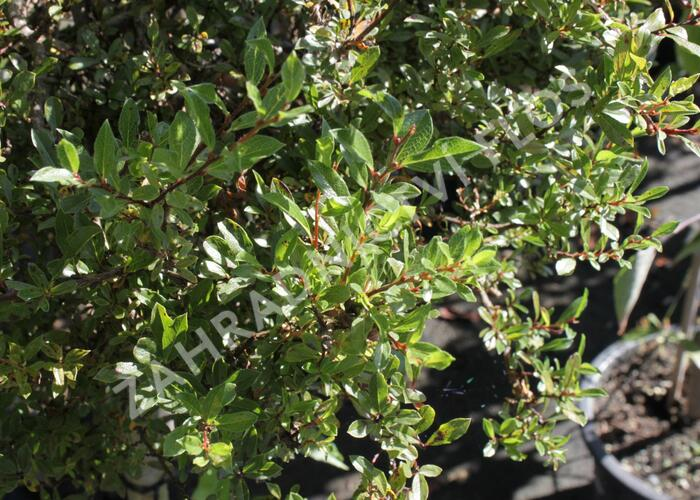 Vrba 'Yalta' - Salix arctica 'Yalta'