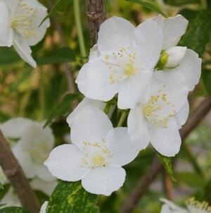 Pustoryl Lemonův 'Innocence' - Philadelphus lemoinei 'Innocence'