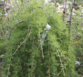 Modřín opadavý 'Puli' - Larix decidua 'Puli'