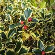 Cesmína obecná 'Variegatum' - Ilex aquifolium 'Variegatum'