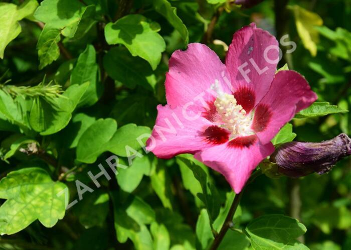 Ibišek syrský 'Tricolor' - Hibiscus syriacus 'Tricolor'