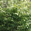 Brslen 'Compacta' - Euonymus ovata 'Compacta'