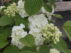 Kalina japonská 'Mariesii Great Star' - Viburnum plicatum 'Mariesii Great Star'