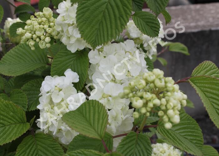 Kalina japonská 'Mariesii Great Star' - Viburnum plicatum 'Mariesii Great Star'