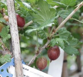 Angrešt červený 'Karmen' - Grossularia uva crispa 'Karmen'