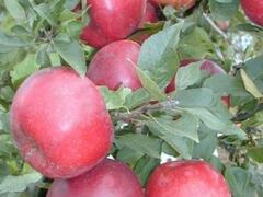 Jabloň podzimní 'Pidi' - Malus domestica 'Pidi'