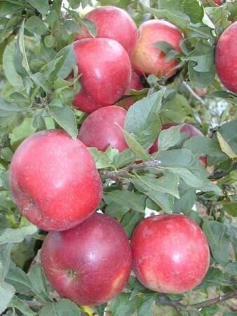 Jabloň podzimní - sloupovitá 'Pidi' - Malus domestica 'Pidi'
