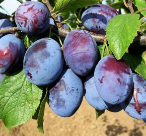 Pološvestka - středně raná 'Čačanská rodna' - Prunus domestica 'Čačanská rodna'