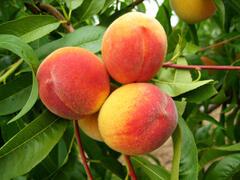 Broskvoň - raná 'Earliglo' - Prunus persica 'Earliglo'