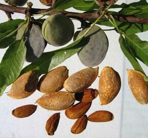Mandloň obecná 'Vama' - Prunus amygdalus 'Vama'