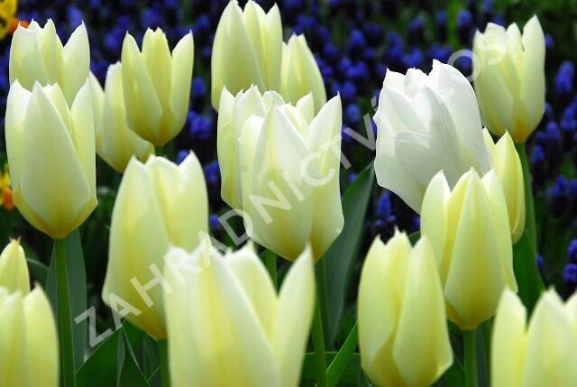 Tulipán 'Purissima' - Tulipa fosteriana 'Purissima'