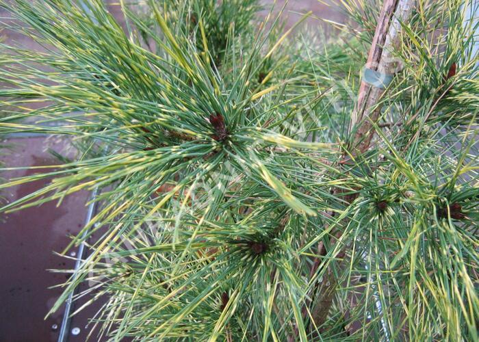 Borovice hustokvětá 'Oculus-draconis' - Pinus densiflora 'Oculus-draconis'