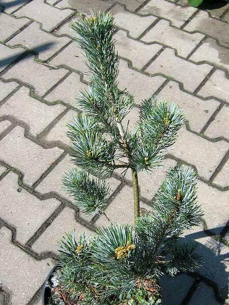 Borovice malokvětá 'Blue Giant' - Pinus parviflora 'Blue Giant'