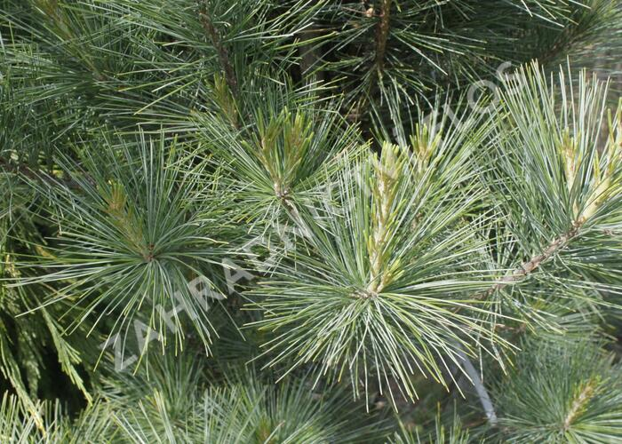 Borovice vejmutovka 'Densa' - Pinus strobus 'Densa'