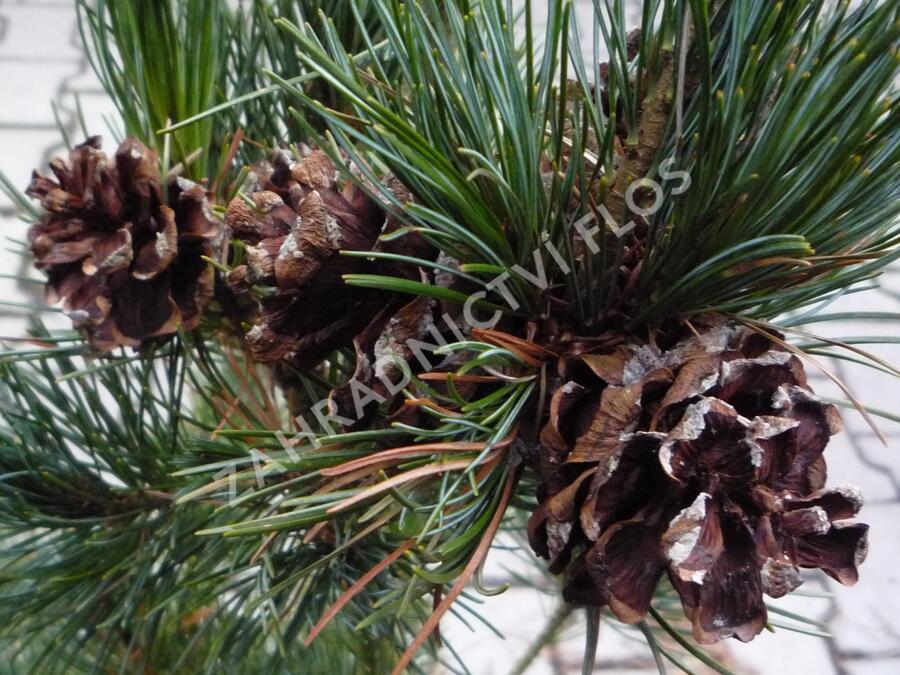 Borovice malokvětá 'Gimborn's Ideal' - Pinus parviflora 'Gimborn's Ideal'