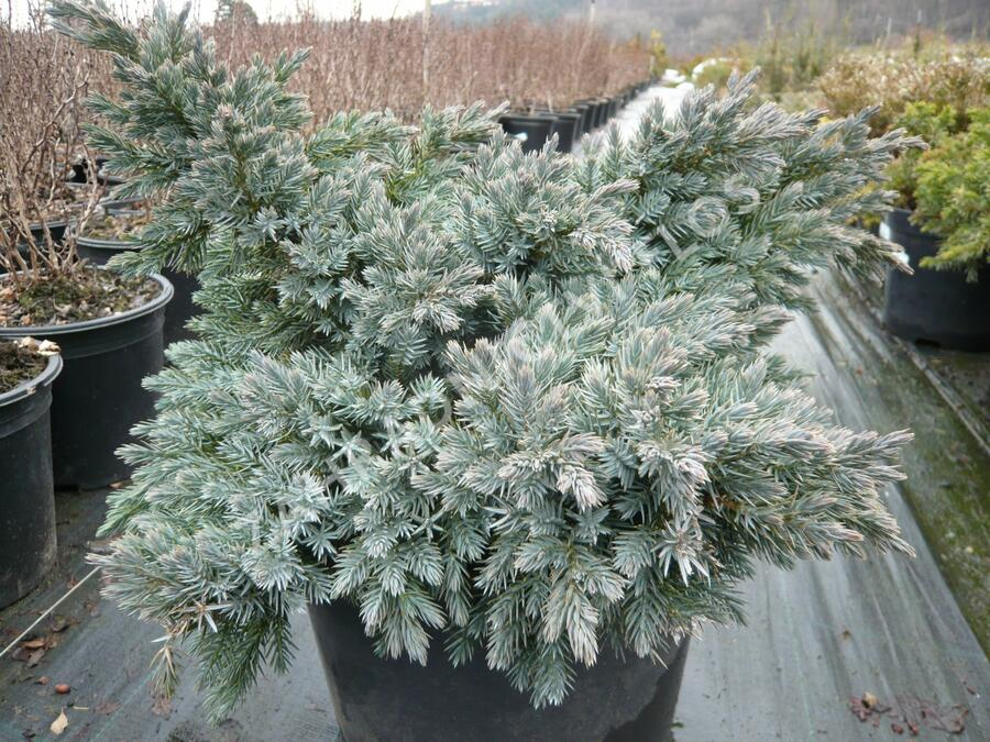 Jalovec šupinatý 'Blue Star' - Juniperus squamata 'Blue Star'